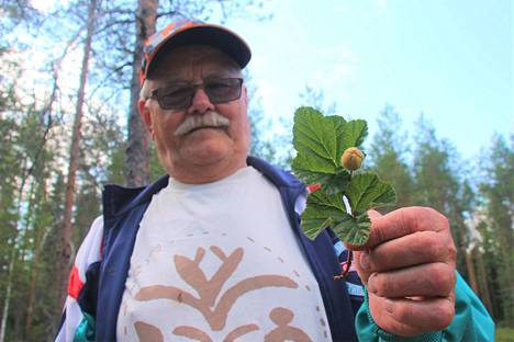 Pentti Rantanen arvostaa suomuuraimen korkeimmalle sijalle metsämarjoista.