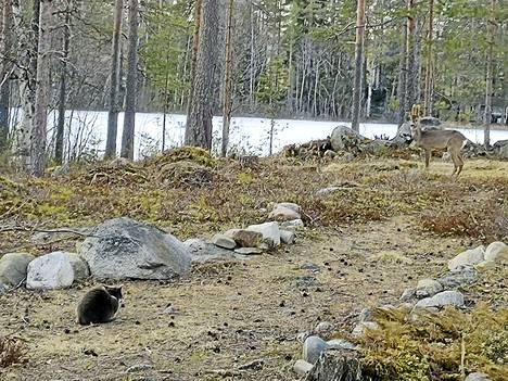 Nani-kissa ja kauris kohtasivat Anneli Pienimäen pihalla Multialla huhtikuun viimeisenä viikonloppuna.