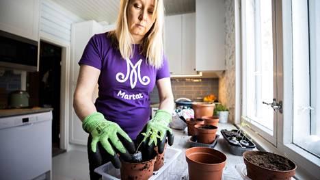 Heidi Ovaska esikasvattaa chilin, tomaatin ja persiljan taimensa noin metrin etäisyydellä keittiön ikkunasta, kunnes ne siirretään ikkunalle taimien kasvaessa ja valon tarpeen lisääntyessä. Sopiva valon määrä on kasvun kannalta olennaista.
