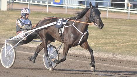 Seppo Markkula on ajanut lähes kaikki Grainfield Emman viime ja tämän vuoden kilpailut. Perjantaina Turussa valjakko ehti kolmanneksi.