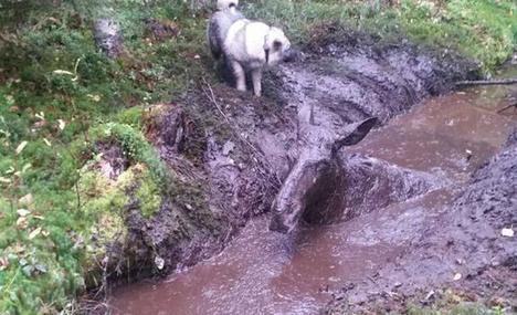 Kyrönmäen valo -koira bongasi mutaan juuttuneen naarashirven ojasta.