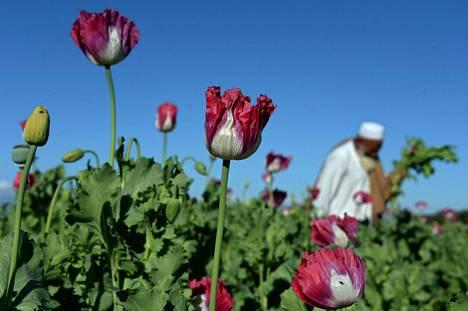 Vuonna 2015 otetussa arkistokuvassa afganistalainen unikkopelto ja sen viljelijä.