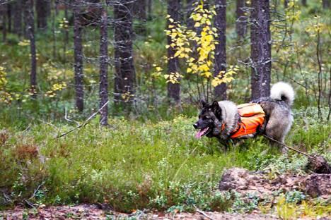 Hirvenmetsästys koiran kanssa ja ajoketjussa alkaa Keski-Suomessa lauantaina.