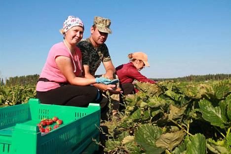 Ukrainalaiset Tania Kuzmenko, Olek Checheba ja Halyna Pavluk poimivat mansikoita Tuomisen tilalla Kiukaisissa kesällä 2018.