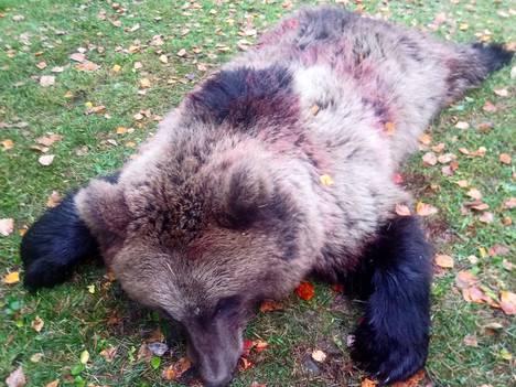 Pohjaslahden yhteislupaseurue lähti sunnuntaina hirvijahtiin mutta saikin kaadettua karhun. Kaato saatiin kahdella koiralla, joista ensimmäinen haukkui Salonsaaressa ja toinen jatkoi mantereen puolella Pajuskylässä.