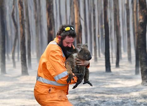 Kärventyneet koalat ovat olleet Australian maastopalojen isoja kärsijöitä.