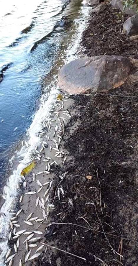 Kalaa oli maanantaina vielä runsaasti huuhtoutuneena Rautalampi-järven rannoille.