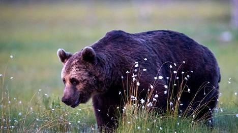 Tänä vuonna Suomessa on myönnetty 457 karhun kaatolupaa.