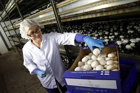 Sieniä poimii Kiukaisissa noin 50 henkilöä. Heistä yksi on Ülle Kübard. Tuotanto jatkuu ympäri vuoden ja on kustannustehokasta siinä mielessä, etteivät herkkusienet tarvitse lisävalaistusta.