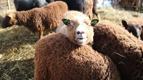 Vehkomäen lammastuhon lopullinen mitta ei ole vielä varmistunut. Susi tappoi kolme, viisi jouduttiin lopettamaan ja metsässä saattaa vielä olla muutamia. Arkistokuva.