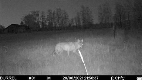 Keuruun Asunnalla lampaita raadelleesta sudesta kertyi runsaasti kuvamateriaalia riistakameroihin. Tähän kuvaan susi tallentui elokuun lopulla.