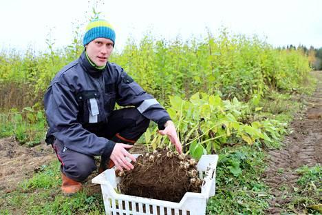 Mikko Kutinlahti esittelee maa-artisokkaa. –Sillä on kaksi sesonkia, syksyllä isänpäivän paikkeilla ja keväällä äitienpäivän aikaan. Mukulat säilyvät yleensä pellossa talven yli ja tuoretta satoa saadaan myös varhain keväällä, kertoo Kutinlahti.