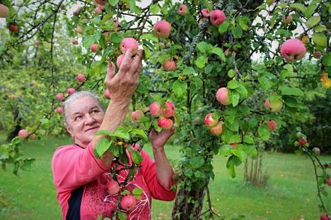 Tarja Joen piha lähes tulvii kypsyviä omenia. Heikompana vuonna sadon saa hyvin hyödynnettyä, mutta runsaana vuonna yksin asuva on sadon kanssa pulassa. Runsaita omenavuosia osuu kohdalle harvoin peräkkäin.