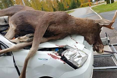 Täytetty hirvi ja lunastuskuntoon mennyt auto havainnollistivat hirvikolaria eri paikkakunnilla vierailleella kiertueella vuonna 2019.