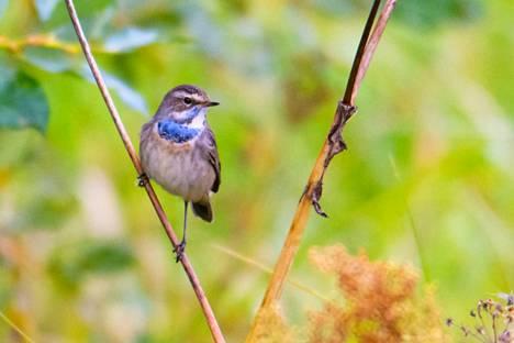 Syyskuun toistaiseksi mielenkiintoisin  Alasen havainto oli syysmuutollaan levähtänyt tunturikoivikoiden kaunis sinirinta. Linnulla on vielä pitkä muuttomatka Etelä-Aasiaan.