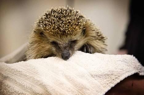 Korkeasaaren villieläinsairaalassa on parikymmentä talteen otettua siiliä, muissa hoitoloissa satakunta. Pahinta siileille on kastuva talvipesä.
