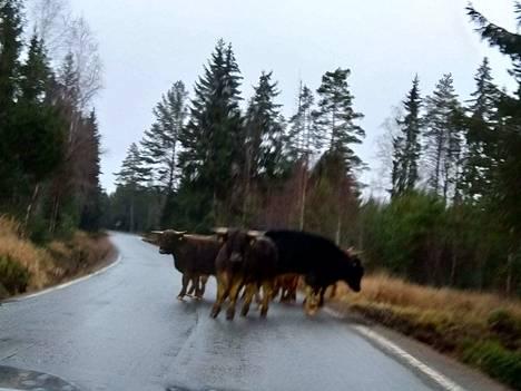 Lukijan mukaan tiellä yllätetty karjalauma oli hyvin rauhallinen.