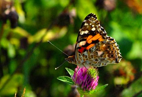 Kuluvan kesän runsaimpana esiintynyt ohdakeperhonen on siipien alapinnalta yhtä kaunis kuin päältäkin.