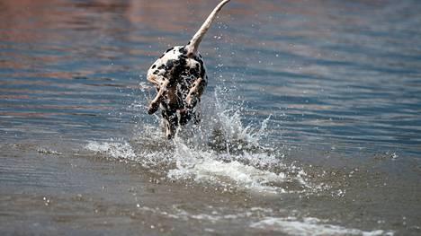 Toisille koirille uiminen on poikkeuksellisen miellyttävää puuhaa. Koirarannalla se onnistuu aina, mutta muuallakin koiraa saa uittaa, jos tietyt säännöt täyttyvät.