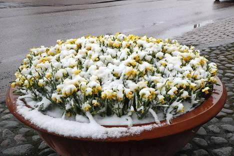 Talven selkä alkaa taittua Pirkanmaalla loppuviikosta. Vaalipäivänä sunnuntaina nautitaan jo jopa kymmenen asteen lämmöstä. Narsissit saivat lumipeitteen Aleksis Kiven kadulla Tampereella tiistaina 9. huhtikuuta.