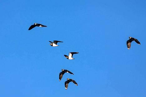 Töyhtöhyypät  palaavat Länsi- ja Lounais-Euroopan talvialueiltaan  maaliskuussa ja asettuvat heti reviireilleen esittäen taidokkaita lentonäytöksiä  soilla, peltoaukeiden ja rantaniittyjen yllä.