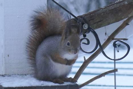 Hannu Eskolinin kuvassa orava pohdiskelee vuoden loppumista joulukuussa 2020.