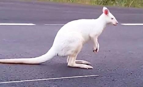 Ohikulkija kuvasi valkoisen kengurun pomppimassa Hammarlandsvägenillä.