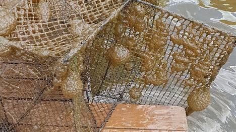 Nämä katiskaan tarrautuneet hyytelösammaleläimet on kuvattu heinäkuussa Lempäälässä. Iso osa vieraslajista Pirkanmaalla kirjatuista havainnoista on tehty juuri Lempäälästä.