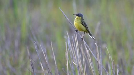 Ensimmäiset keltavästäräkit havaittiin viime sunnuntaina Porissa ja Huittisissa. Tämä lintu on kuvattu Porissa kesäkuussa 2004.