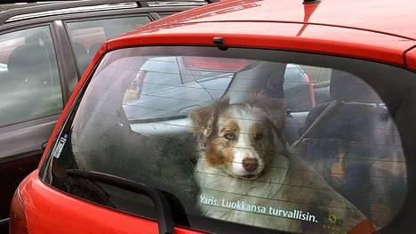Koiraa ei saa jättää kuumaan autoon, tekstarin lähettäjä muistuttaa.