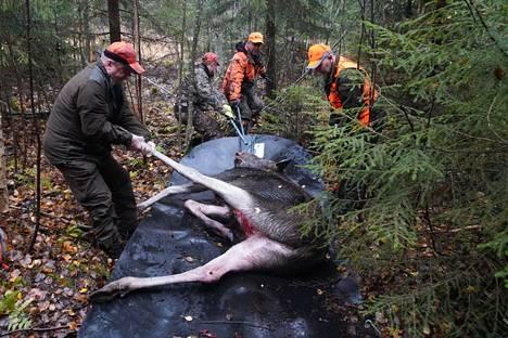 Keski-Suomen hirvikanta on pienentynyt vuodesta 2016 lähtien. Kuvituskuva.