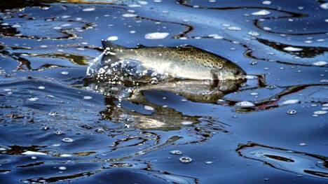 Pirkanmaan vesistöihin istutetaan erityisesti lohikaloja, kuvassa järvitaimen.