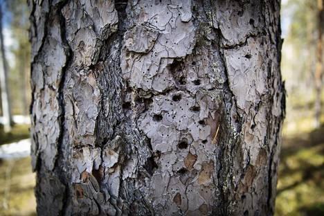 Tiedätkö, mikä lintu nakuttelee tällaisia reikiä vanhaan puuhun? Asialla on ollut käpytikkaa pienempi, tummasävyinen pohjantikka.