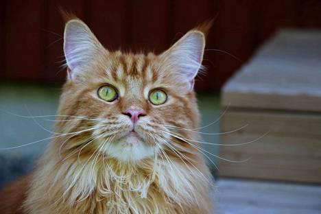 Upea Peppi on rodultaan maine coon, joka on yksi suurimpia kissarotuja.