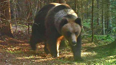 Mänttävilppulalainen Tino Viiki sai riistakameransa kuvan aikuisesta karhusta ja kahdesta pennusta elokuussa 2021 ennen karhunmetsästyskauden alkua Pohjaslahden seudulla Mänttä-Vilppulassa.