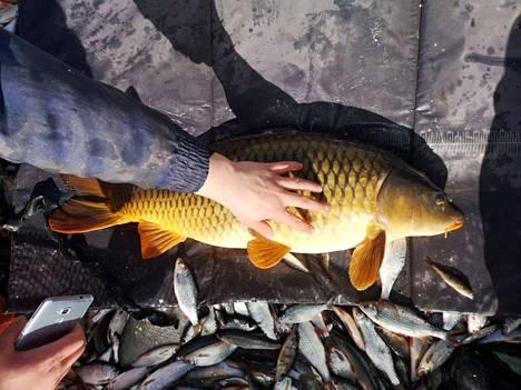 Tällä Iidesjärven valtavalla karpilla oli pituutta peräti 84 senttimetriä.