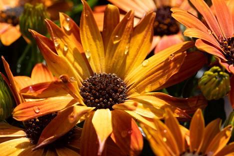 Kankaanpään seurakunnan sankarihautausmaille on istutettu tähtisilmä-kukkia.