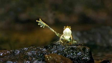 Näiden pienten sammakoiden kurnutus hukkuu veden kohinaan. Siksi ne ojentelevat raajojaan.