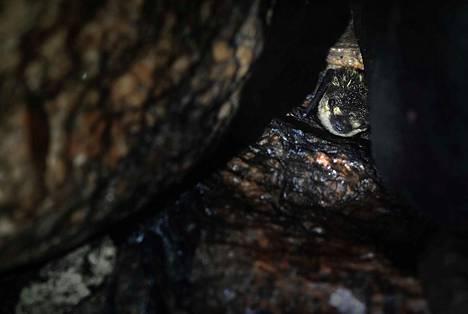 Luolissa ja kellareissa horrostaville lepakoillekin jatkuva heräily on rasite, sillä saalishyönteisistä ei ole tietoakaan. Tutkija arvioi pohjanlepakkokannan kärsivän ilmaston lämpenemisestä.