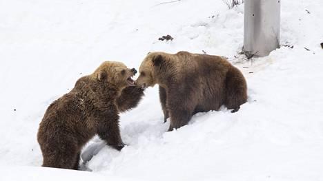 Korkeasaaressa nähtiin jo kevään merkkejä, kun karhut kömpivät pesästään.