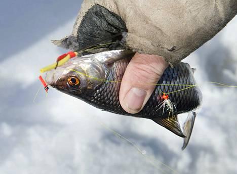 Keuruun Eläkkeensaajat ovat nostaneet kymmeniä kiloja kalaa vuoden alusta pidetyissä pilkkikisoissa.