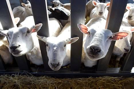 Ulvilan Kullaalla toimiva Tenhon tila sai viime vuonna Satakunnassa eniten EU-tukia. Arkistokuvassa Tenhon tilan lampaita vuodelta 2016.