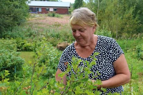 Klaarantien asukkaat kasvattavat puutarhassaan monenlaisia kasveja. Tarja Pitkäranta maistelee karviaisia. Taustalla näkyvä palsamipelto uhkaa levitä asukkaiden puutarhaan.
