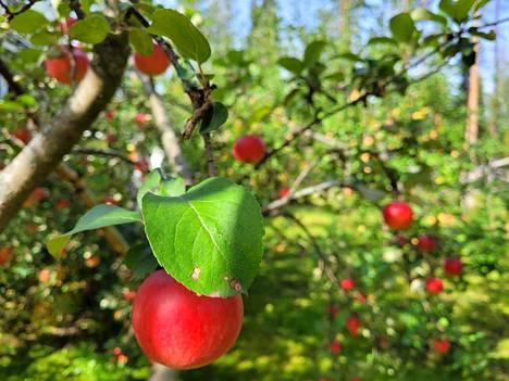 Tänä syksynä omenasato on niin runsas, että reseptejä kaivataan.
