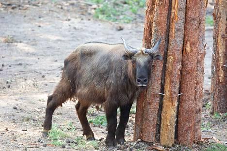Metsästys ja elinympäristöjen tuhoutuminen ovat pienentäneet takinien määrää luonnossa, ja niiden määrä vähenee edelleen.