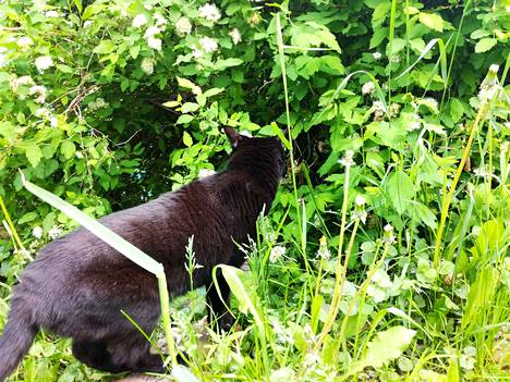 Kaltoinkohtelun vuoksi huostaan otettujen kissojen määrä huolestuttaa. Tämä lemmikki saa elää kissanelämää hyvässä kodissa.