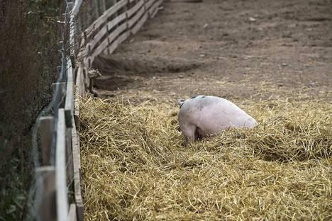 Kuvassa on villi ja vapaa luomusika Vampulasta. Kuvan sika ei liity juttuun.