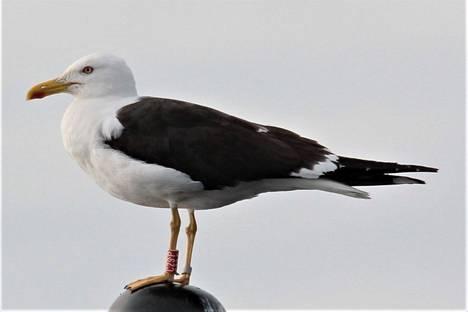 Asko Puro lukurengasti kuvan selkälokin Ruoveden Tarjannevedellä lajin tyypillisellä pesimäalueella vuonna 2008. Linnun rengas on luettu valokuvasta säännöllisesti vuodesta 2016 pesivänä samalta paikalta, missä se on syntynyt. Talvet tämä selkälokki on viettänyt aina  kaukomuuttajana Itä-Afrikan järvillä.