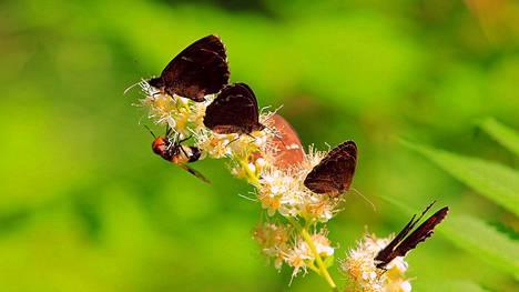 Metsänokiperhoset ovat saaneet vierailijan. Metsänokiperhosia on tänä vuonna runsaasti.