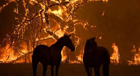 Hevosia Blue Mountainin alueella. Olosuhteiden odotetaan edelleen pahenevan.
